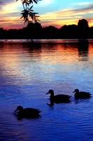 Sunset with Ducks