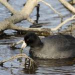 """American Coot"" by WildAboutNaturePhotography"
