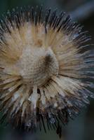 Frozen Flower Seed Head