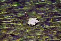 Swimming Autumn Leaf