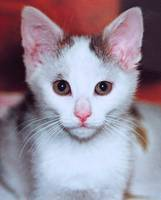 White Kitty