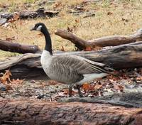 A Goose in Virginia