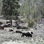 """Spring Snow in Yellowstone"" by pbk"