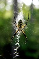 Black and Yellow Argiope IMG 0830