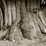 """Bristlecone Trunk"" by SederquistPhotography"