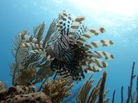 Lionfish against the sky