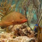 """Strawberry Grouper and Queen Angelfish Cat Island"" by SapphireSeas"