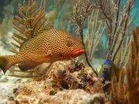 Strawberry Grouper and Queen Angelfish Cat Island