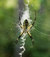 Black and Yellow Argiope Img 0829