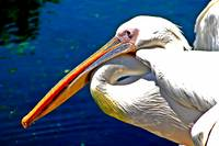 White African Pelican