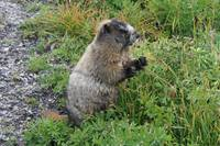 Marmot at Lunch