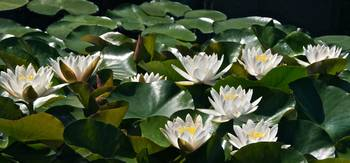 Double White Hardy Water Lilies