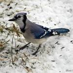 """""""Blue Jay"""" by WildAboutNaturePhotography"""