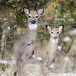 """""""White-tailed Deer"""" by WildAboutNaturePhotography"""