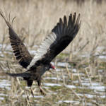 """Turkey Vulture"" by WildAboutNaturePhotography"