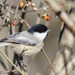 """Carolina Chickadee"" by WildAboutNaturePhotography"
