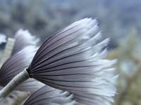 Supermacro Colonial Feather Duster  Cat Island 529
