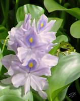 Water Hyacinth and Tree Frog