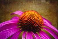 Purple Coneflower on Canvas