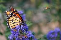 Monarch and the Bee