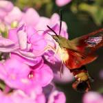 """Hummingbird Moth Dining"" by janetharper"
