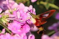 Hummingbird Moth Dining