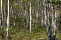 White Birch Trees, Jasper National Park