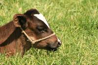 Calf With a Halter