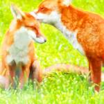 """""""Red Foxes, Two"""" by mariancates"""