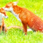 """""""Red Foxes, One"""" by mariancates"""