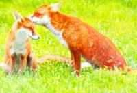 Red Foxes, One