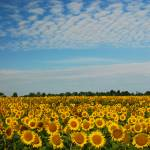 """Sunflower Field"" by dscphoto"