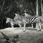 """""""Still Life With Zebra"""" by SoulfulPhotos"""