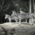 """Still Life With Zebra"" by SoulfulPhotos"