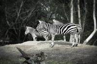 Still Life With Zebra