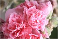 Ruffly Pink Hollyhocks