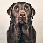 """Mature Chocolate Labrador"" by jmpaget"
