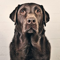 Mature Chocolate Labrador