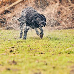 """Black Labrador Shaking Down"" by jmpaget"