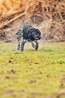 Black Labrador Shaking Down