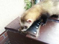 This shows the polecat on his outside hutch,