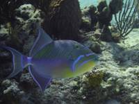 Queen Triggerfish, Cat Island, 1-31-13