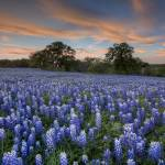 """Texas Bluebonnets, Texas Hill Country 1"" by RobGreebonPhotography"
