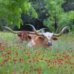 """Texas Longhorns in Wildflowers"" by RobGreebonPhotography"
