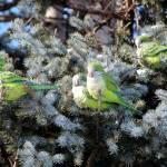 """Monk Parrots aka Quaker Parrots Sunning"" by janetharper"