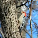 """""""Red Bellied Woodpecker"""" by janetharper"""