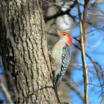 """Red Bellied Woodpecker"" by janetharper"