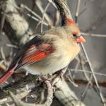 """Female Cardinal"" by janetharper"
