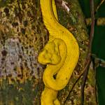 """Eyelash Pit Viper (a terrible beauty)"" by ChristopherByrd"
