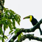 """Keel-billed Toucan"" by ChristopherByrd"
